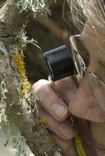 Judy Robertson examines Xanthoria pollinarioides.